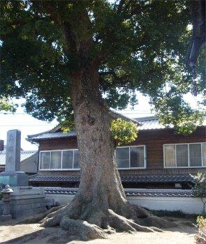 呉ヘリテージ、大東寺のクスノキ