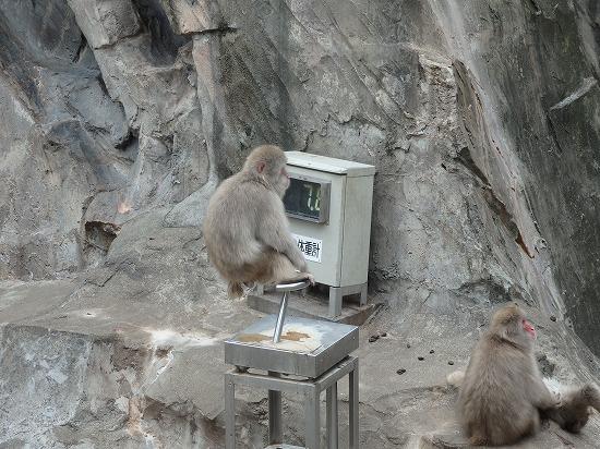 サルも体重気になる?