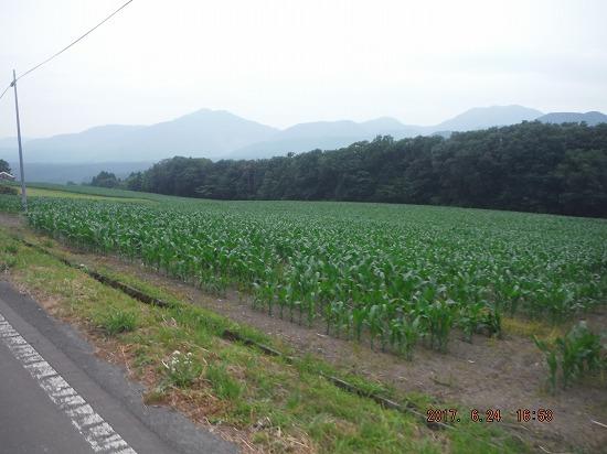 広大なトウモロコシ畑